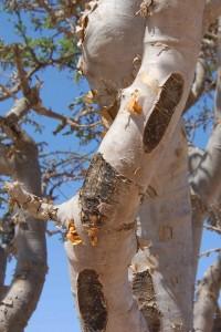 Frankincense Tree (Oman) {Photo Credit: Wikipedia}